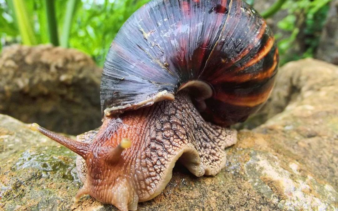 First sighting of dreaded invasive snail in Barbuda