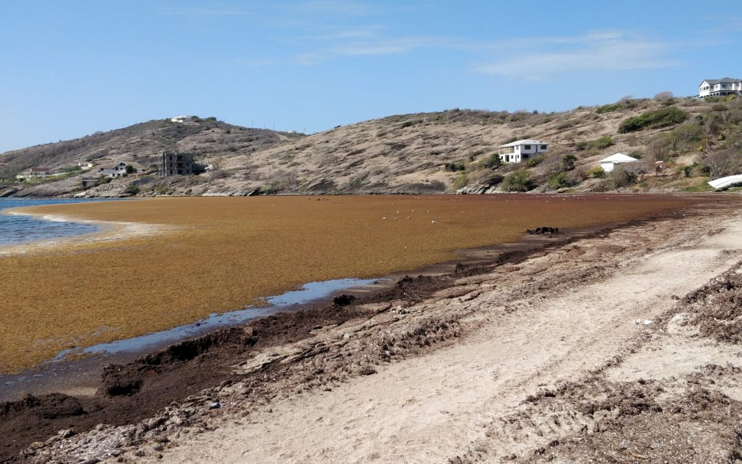 Rethinking sargassum: Gov't hopes to transform the stinking seaweed into fertiliser