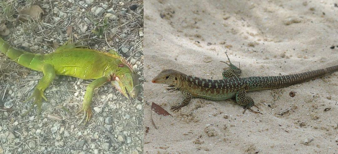 Iguana invasion causing headaches for farmers