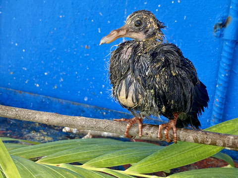 Baby pigeons rescued after losing home
