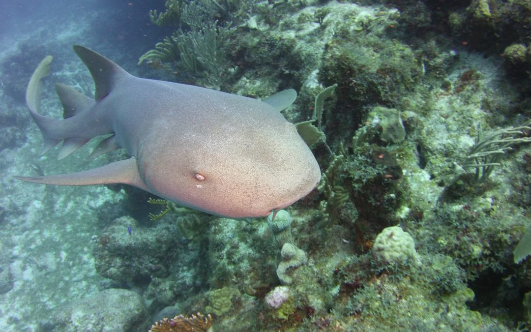 Sharks: Majestic, maligned and misunderstood, Why sharks are crucial to both our environment and tourism