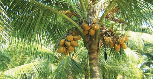 'Coconut palm seeds thoroughly assessed before importation' — Plant Protection Unit