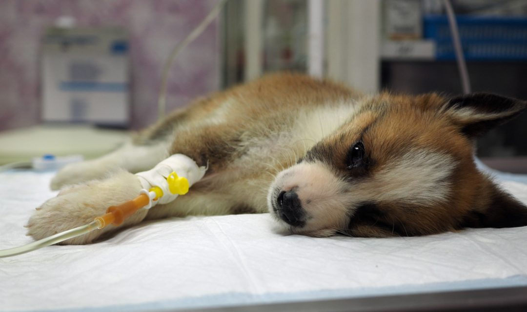 Surge in deadly puppy virus, Dog owners warned to be alert – and vaccinate their pets