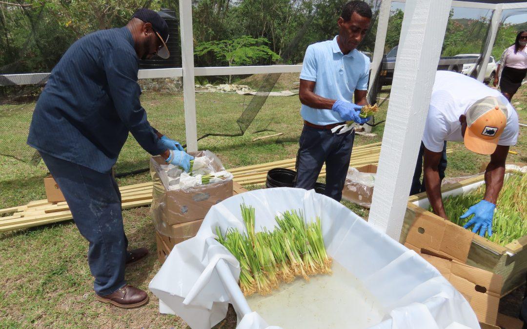 IICA reintroduces Vetiver Grass to Antigua and Barbuda under the CBF-EbA Project